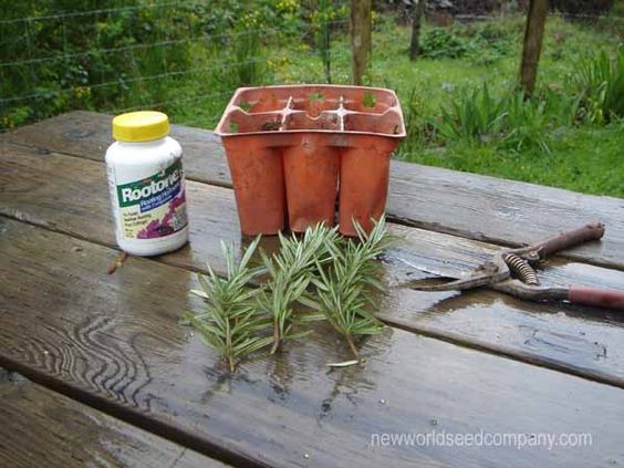 How to take Rosemary cuttings