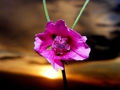 Malva, Flor, Pôr Do Sol, Sol