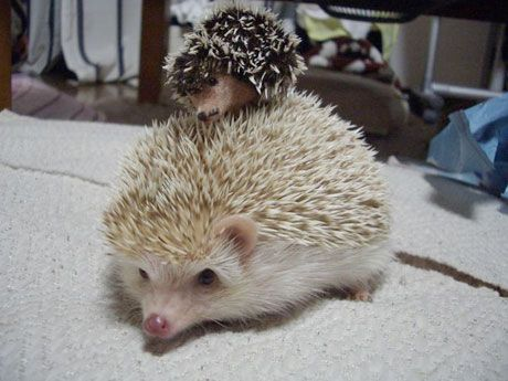 Hedgehog with another hedgehog . . . adorable!: