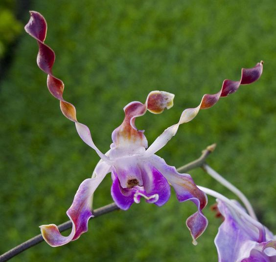 Orchid 'twist'