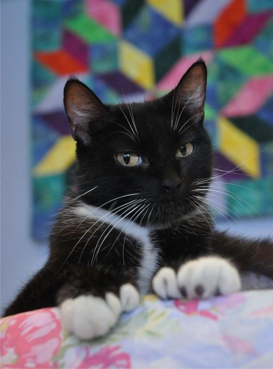 Frenchie is available for adoption from Anderson County Humane Society in Anderson, South Carolina.