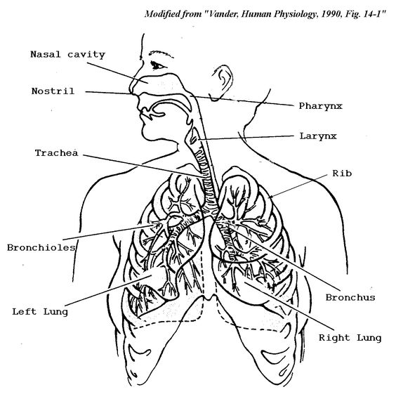 Respiratory System Coloring Page CC3 Classical