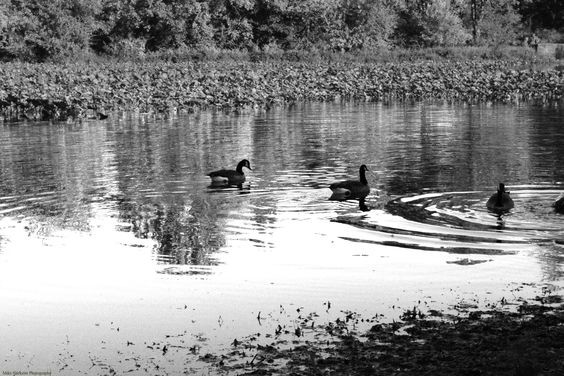 Autumn, Canadian Geese and Silver Lake in Monochrome.