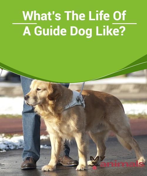 What S The Life Of A Guide Dog Like Guide Dogs Have An Important