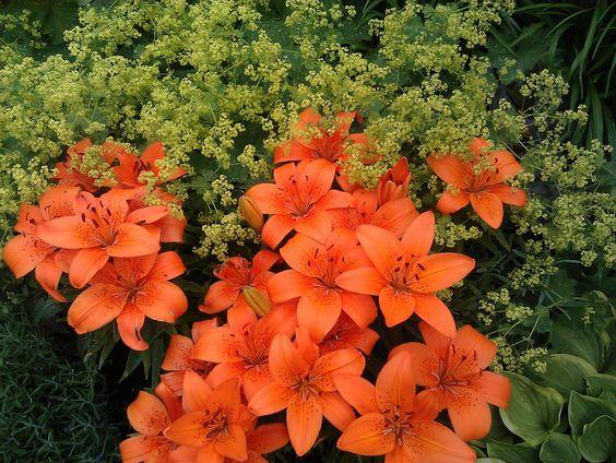 Lilien und Frauenmantel