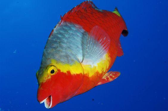 Vieja colorada, por Julio Díaz #dive #submarinismo #fotosubmarina #ElHierro