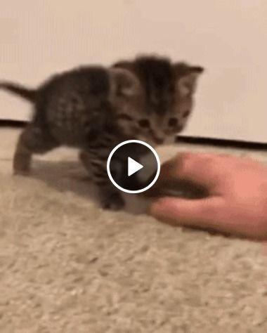 Gatinho brincando de atacar o dono