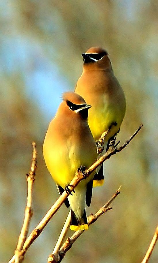 Cedar Waxwings - such beautiful colors