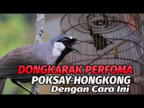 Dongkrak Perfoma Poksay Hongkong Biar Tambah Gacor Video Burung Petunjuk