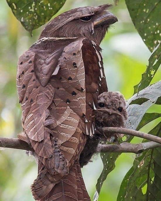 🔥 Large Frogmouth with baby 🔥 - NatureIsFuckingLit
