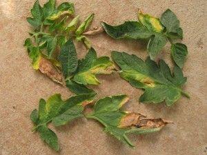 Cultivo del Tomate: Plagas y Remedios B9c78b10bd3bec51bd5208e164d37460