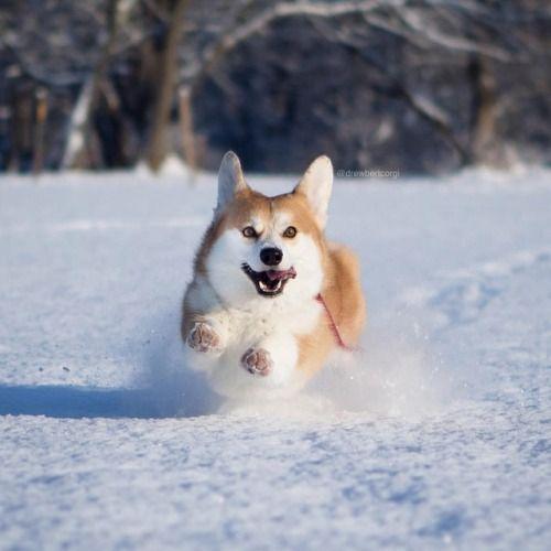 コーギーの飛行犬