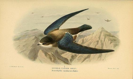 Needle-tailed swift  (Acanthyllis caudacuta )