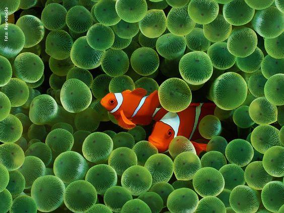 Mais uma vez a natureza nos ensinando a conviver, como no caso da anêmona e do peixe-palhaço.