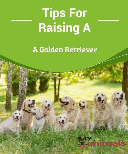 Tips For Raising A Golden Retriever In Order To Raise A Golden