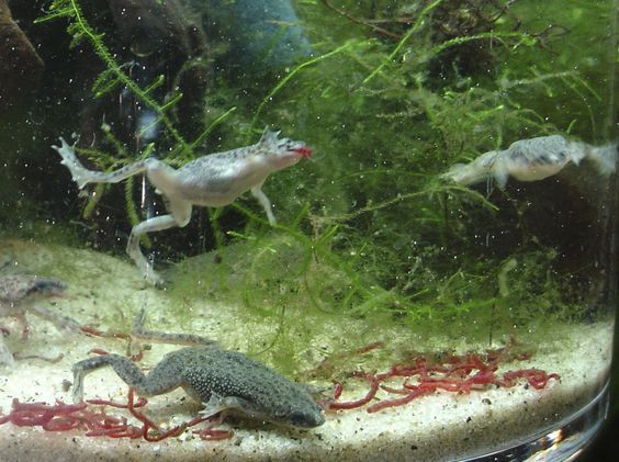 Some of my 6 African Dwarf Frogs eating blood worms.