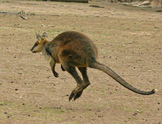 Wallaby | Flickr - Photo Sharing!