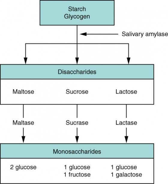 This Flow Chart Shows The Steps In Digestion Of Carbohydrates The Different Levels Shown Are Starch Carbohydrates Biology Biology Notes Anatomy And Physiology