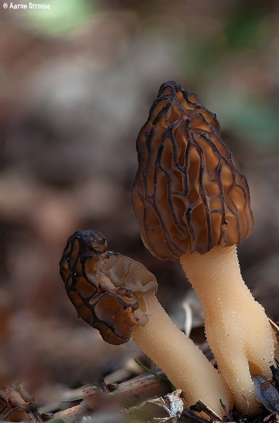 Morel Mushrooms by ats8110 - Aaron Strouse