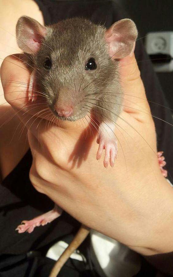 Rats are Awesome!
