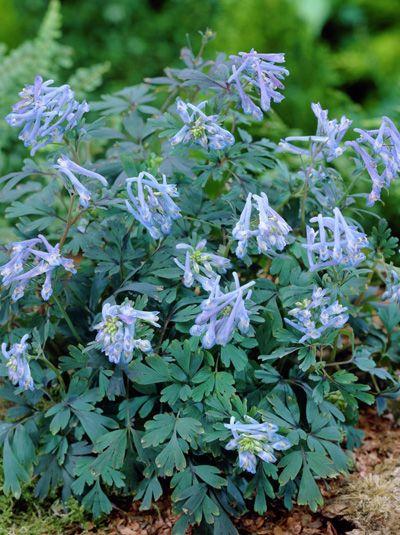 Corydalis Flexuosa Purple Leaf Gebogener Garten Lerchensporn Foliage Plants Shade Plants Shade Perennials