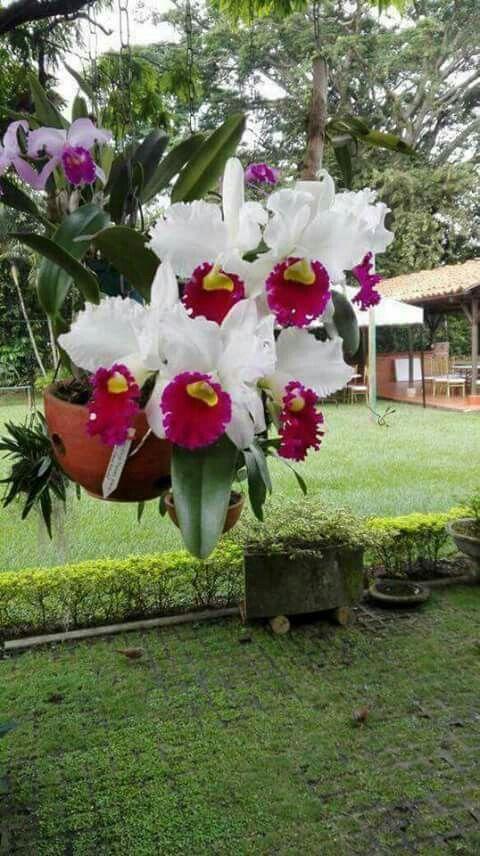 Cattleya Hibrida Orchids Flor De Jardinagem Orquidea
