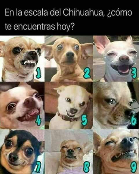 Pin By Adbeel On Ideitas Ideotas Chihuahua Funny Cute Funny Dogs Funny Animals