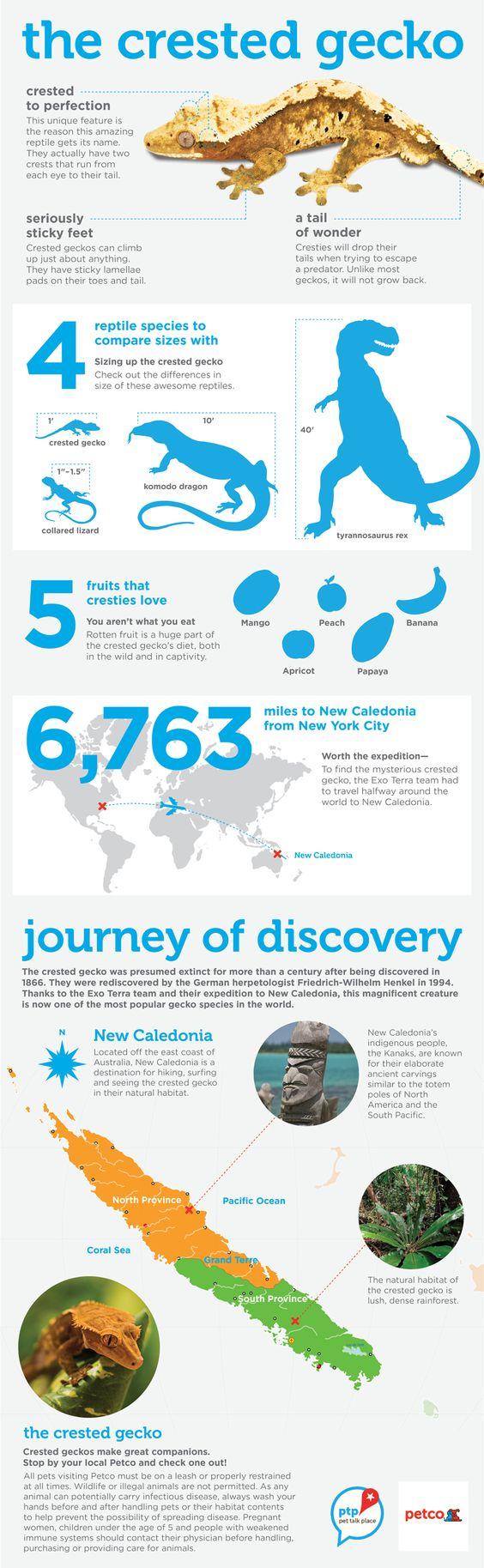 Crested_Gecko_infographic.v1_LR.jpg