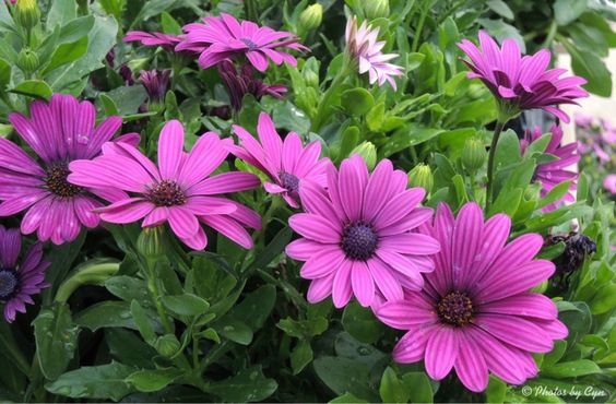 Pink Daisies...photo by Cyn...June 2013