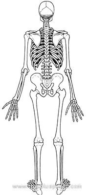 Human anatomy, Skeletons and Anatomy on Pinterest
