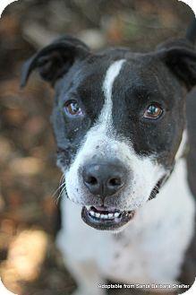 Goleta, CA - Pointer/Pit Bull Terrier Mix. Meet Dude, a dog for adoption. http://www.adoptapet.com/pet/15908230-goleta-california-pointer-mix