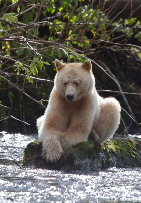 "The Kermode Bear also known as the ""spirit bear"" ~ is a subspecies of the Black Bear living in the Central and North Coast of British Columbia, Canada:"
