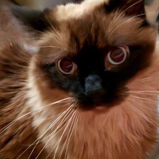 Elk Grove Village Il Domestic Longhair Meet Sammy A Pet For Adoption Cat Adoption Pets Pet Adoption