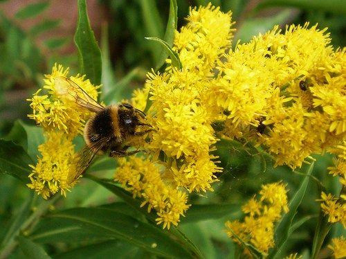 Goldenrod Fact And Mythology Flowers Feed Bees Butterflies They Are Considered Weeds But Are Essential In The Ecosyste Flowers Feed Feeding Bees Goldenrod