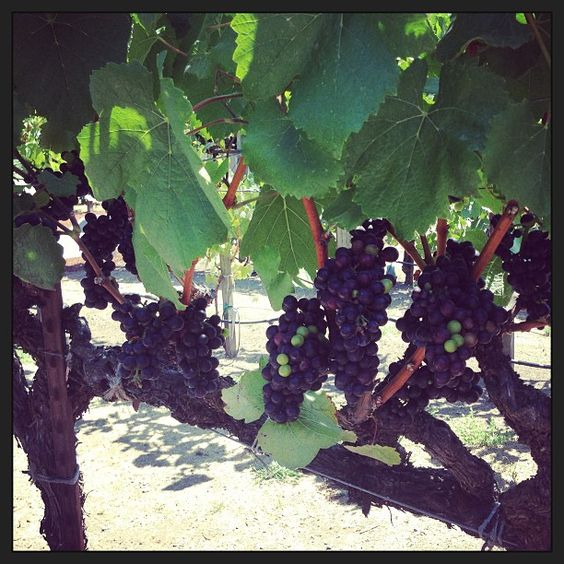 Pinot Noir grapes a few weeks away from harvest. Grapes taste slightly sweet with big crunchy seeds- what we love here at The Grapeseed Co!
