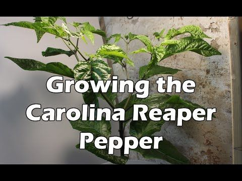 Attempting To Grow The Carolina Reaper Chili Pepper Plant So This