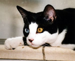 Tuxedo cat with blue and green eyes