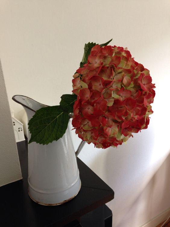 Rode hortensia