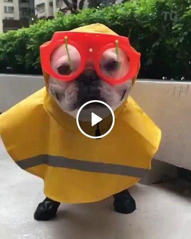 Em dia de chuva os cães á estão preparados.