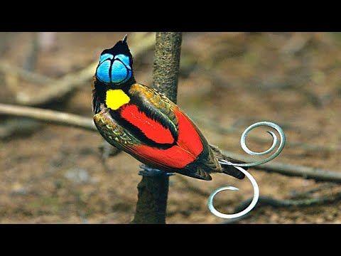 10 طيور هي الأكثر جمالا وروعة في العالم لن تصدق أنها موجودة Youtube Birds Of Paradise Bird Beautiful Birds