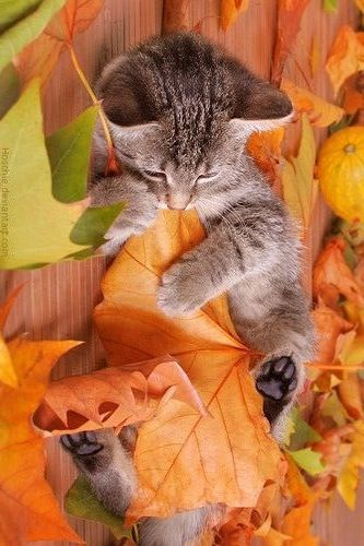 Kitty playing wtih the autumn leaves:
