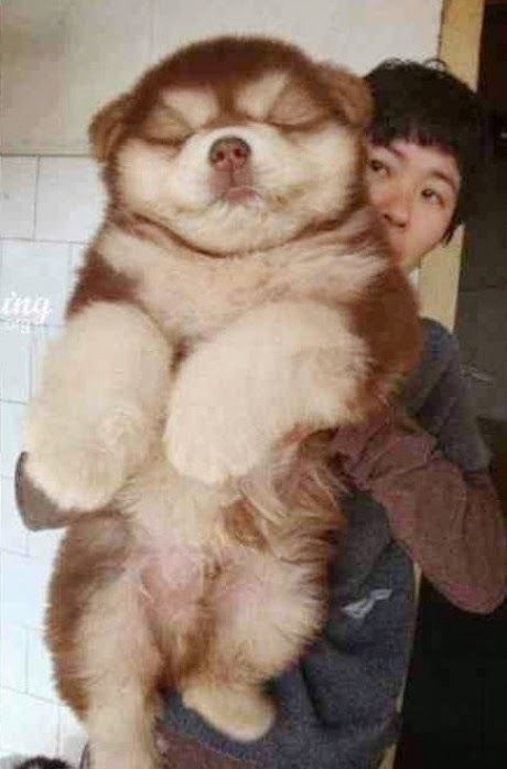 dream homes a dog love that dog chow chow dogs so cute cuddle buddy ...