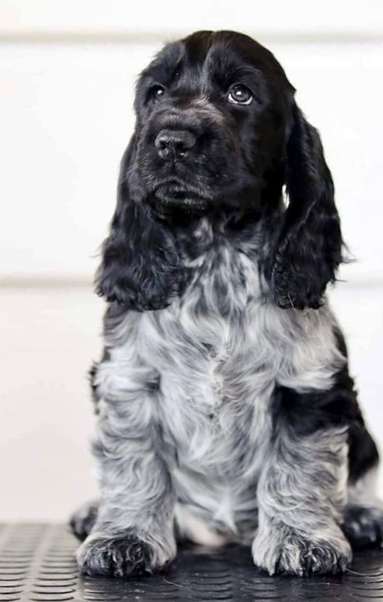 Pin By Galaxy Cat On Dogs In 2020 Beautiful Dogs Dogs Cocker Spaniel