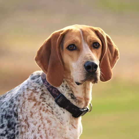 7 Large Dog Breeds That Don T Shed Dog Breeds That Dont Shed Large Dog Breeds Hound Dog Breeds