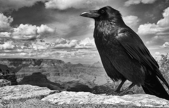 Претендент. Ворона на краю Гранд-Каньона.