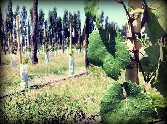 Malbec planted in December