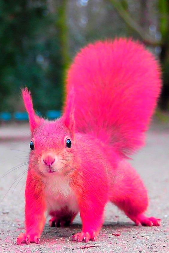 Pink squirrel!! No photoshops were hurt in the making of this squirrel...: