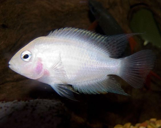 Pink Convict Cichlid - Convict cichlid - Wikipedia, the free encyclopedia