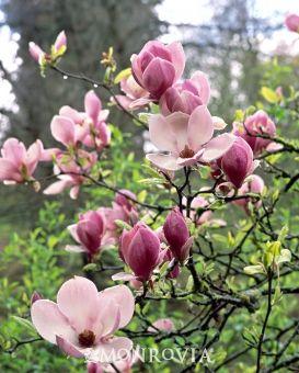 Living Spaces Monrovia : Saucer Magnolia - Monrovia - Saucer Magnolia  Decorate ...
