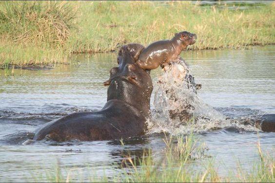 La madre hipopotamo salva a su bebe!